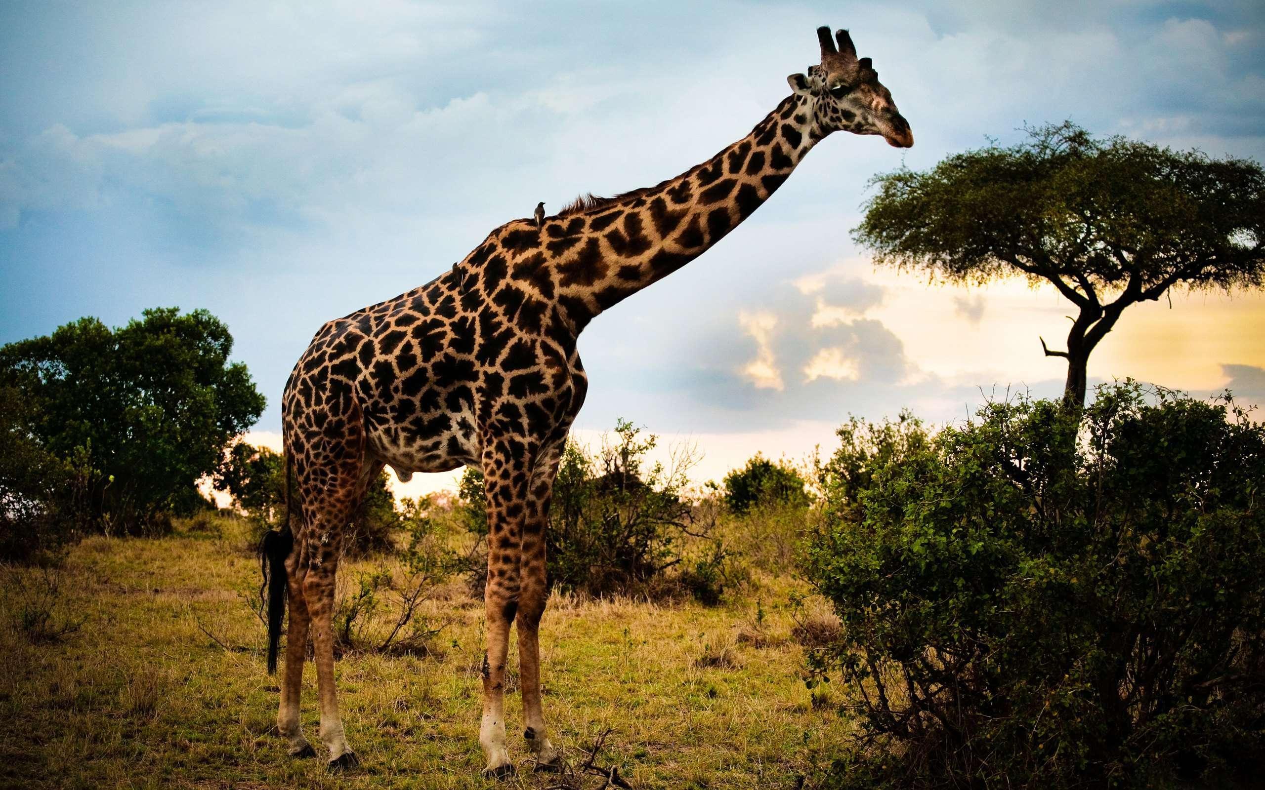 Жираф испугался  № 3895597 бесплатно