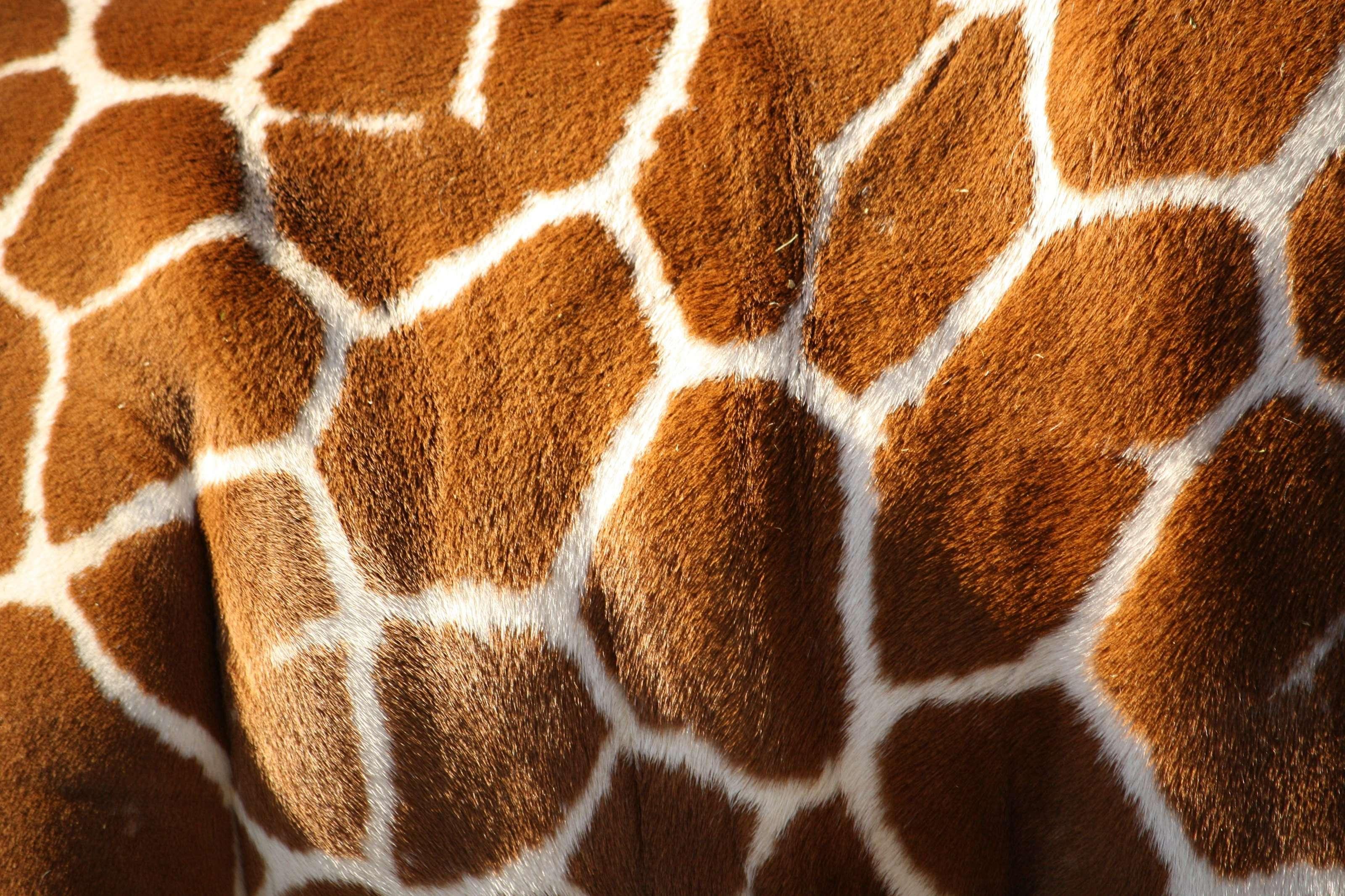 жираф рисунок  № 3522594 без смс