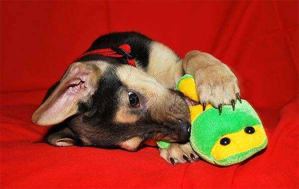 Играющий щенок, фото собаки картинка