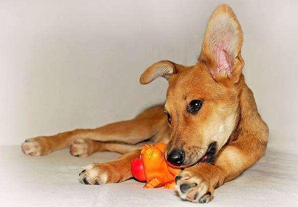 Щенок с игрушкой, фото собаки изображение