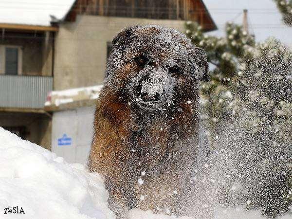 Немецкая овчарка купается в снегу, фото сезонные проблемы у собак фотография