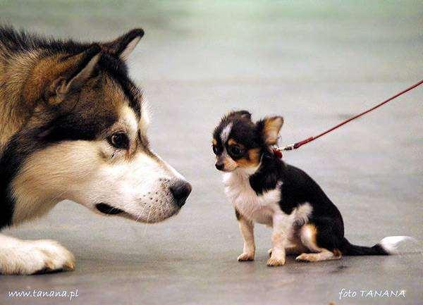 Хаски и чихуахуа, фото собаки фотография