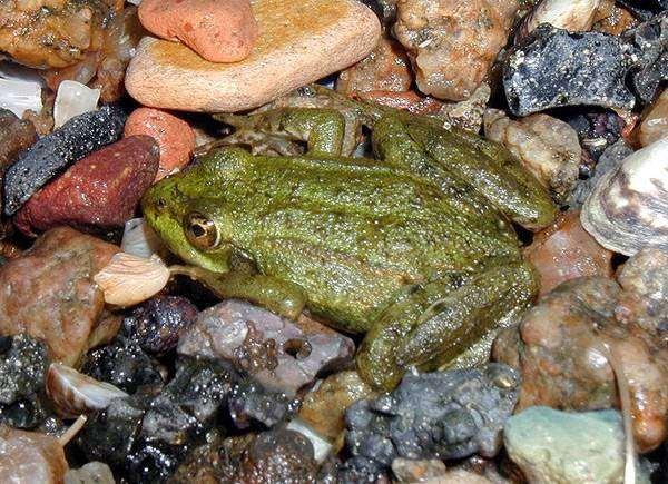 Озерная лягушка?, фото новости о животных амфибии фотография