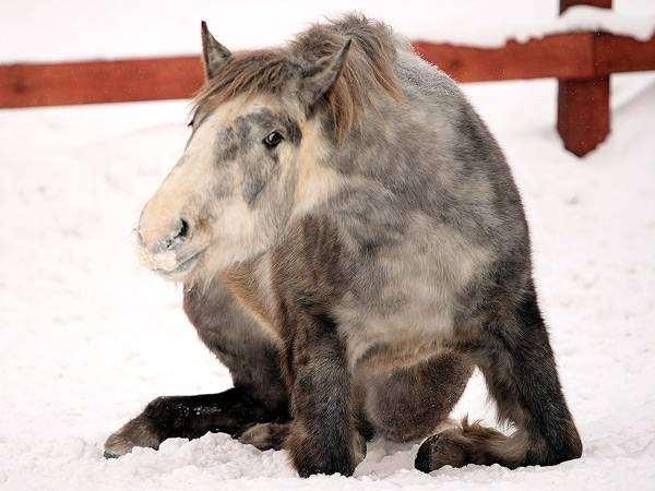 Советский тяжеловоз, фото содержание лошади фотография