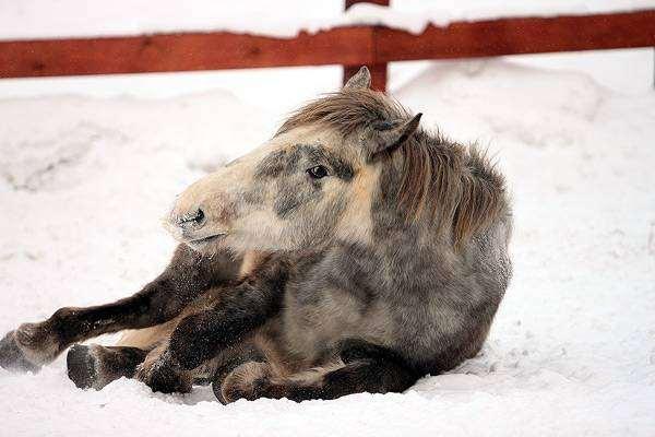 Советский тяжеловоз на снегу, фото содержание лошадей фотография