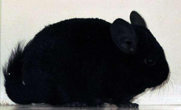 Шиншилла, фото болезни шиншилл грызунов фотография
