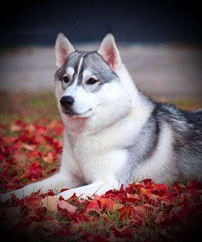 Сибирский хаски, фото вопросы о собаках фотография