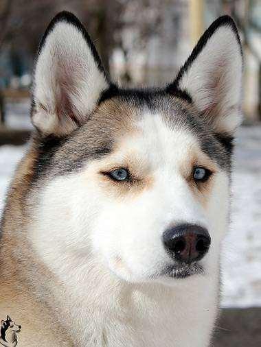 Сибирский хаски, фотография консультации о собаках фото