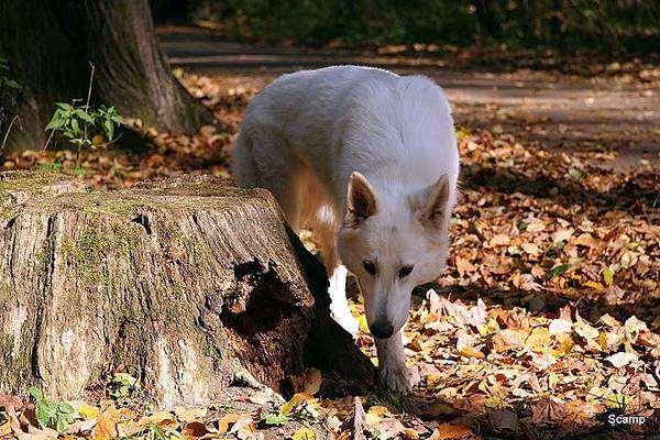 Белая швейцарская овчарка, фото собачий гороскоп фотография