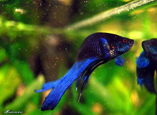 Петушок, бойцовая рыбка (Betta splendens), фото лабиринтовые рыбы фотография
