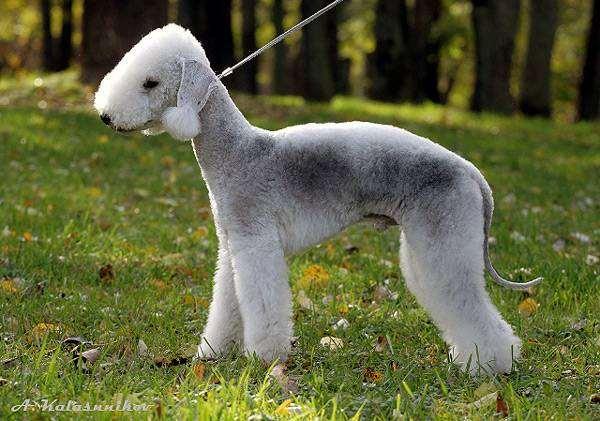 Бедлингтон-терьер, фото породы собак фотография собаки