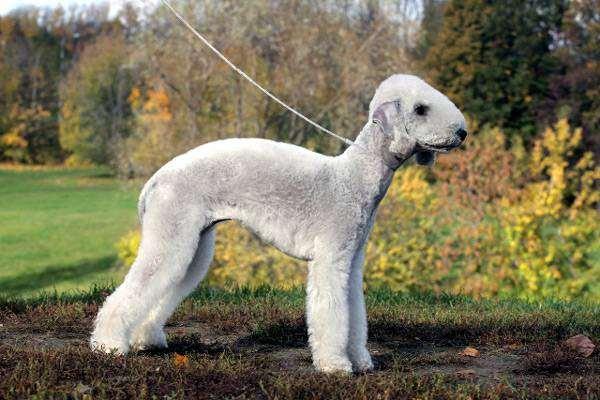 Бедлингтон-терьер, фото уход за шерстью собаки картинка