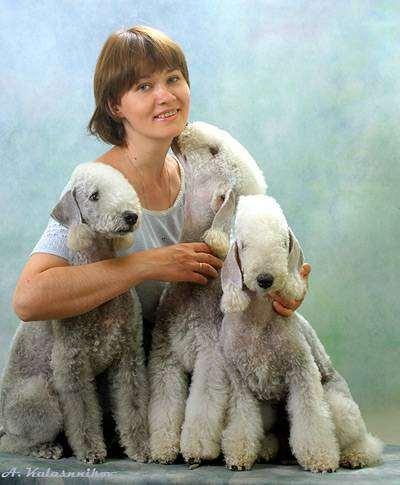 Бедлингтон-терьеры, фото собаки фотография