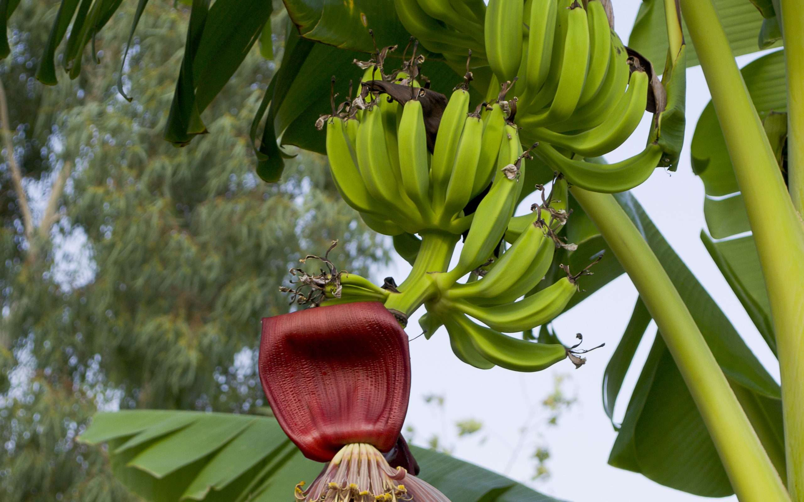 legend of banana plant