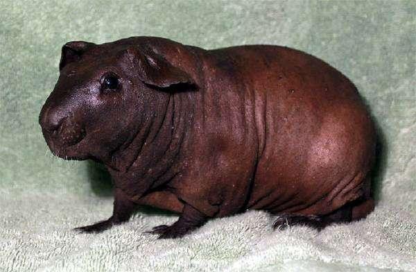 Морская свинка болдуин, фото грызуны картинка