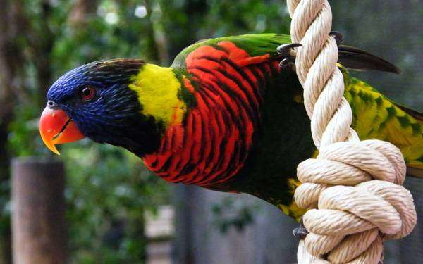 Многоцветный лорикет (Trichoglossus haematodus), фото фотография попугаи картинка
