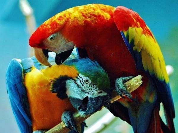 Попугаи ара, фото фотография содержание уход за попугаями птицами картинка