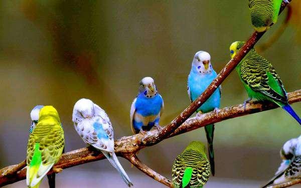 Волнистые попугайчики, фото фотография содедржание птиц картинка