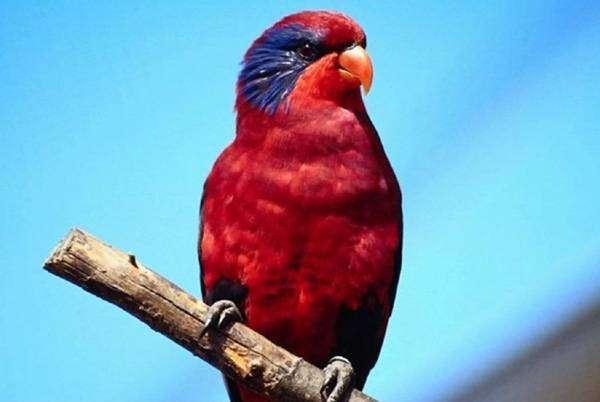 Попугай, попугайчик, фото фотография содержание птиц