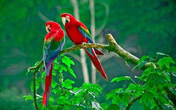 Зеленокрылые ара (Ara chloropterus), фото фотография содержание попугаев картинка