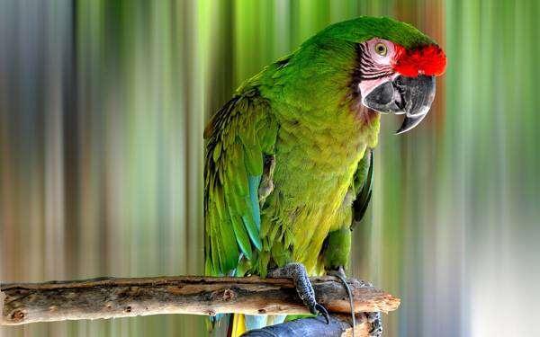 Большой солдатский ара (Ara ambigua), фото фотография картинка птицы