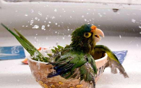 Птенец амазона, фото фотография содержание птиц картинка