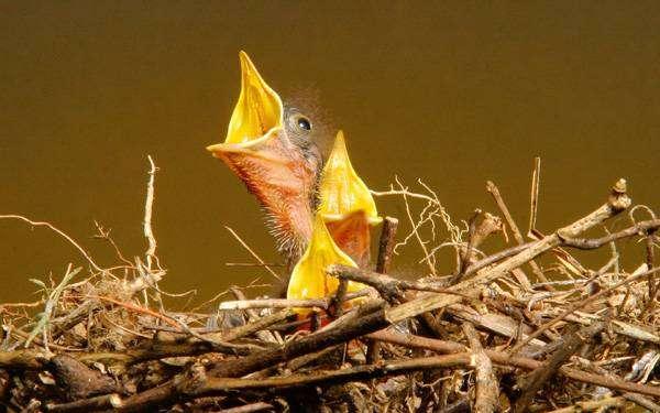 Маленькие птенцы в гнезде, фото фотография картинка
