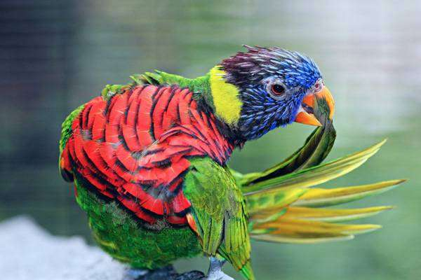 Радужный лорикет, фото фотография попугаи картинка