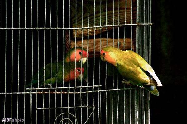 Попугаи неразлучники в клетке, фото фотография содержание птиц
