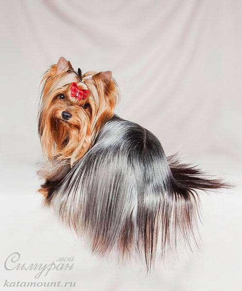 Йоркширский терьер, фото фотография собаки
