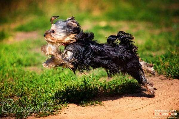 Йоркширский терьер, фото фотография породы собак картинка