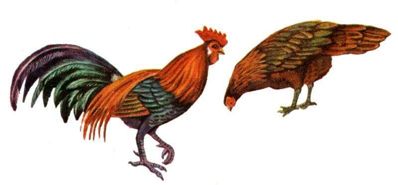 Банкивские куры (Gallus gallus), картинка рисунок птицы