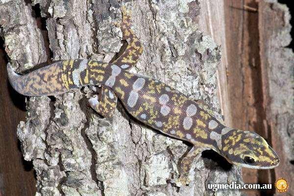 Бархатный геккон (Oedura monilis), фото рептилии ящерицы фотография