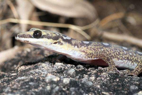 Бархатный геккон (Oedura monilis), фото пресмыкающиеся фотография