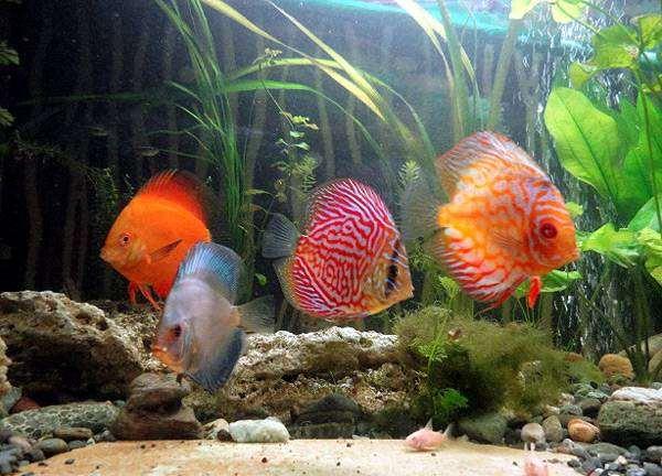 Дискусы, фото содержание аквариумных рыб фотография