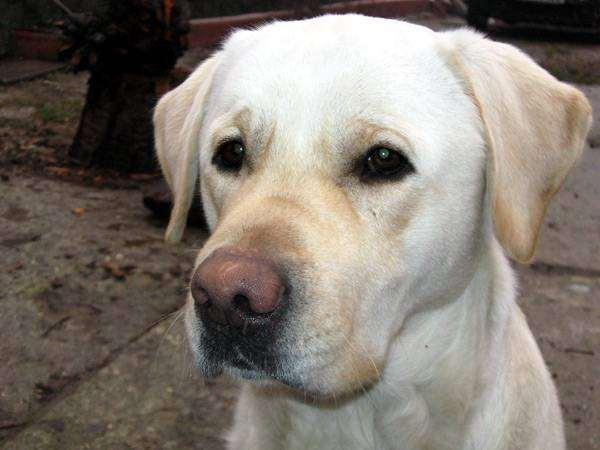 Лабрадор-ретривер, картинка породы собак