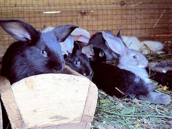 Кролики в клетке, фото зайцеобразные фотография