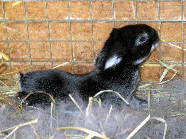 Крольчонок в гнезде, фото содержание кроликов фотография