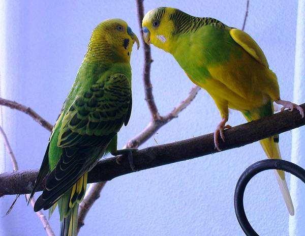 Волнистые попугаи, фото виды птиц фотография