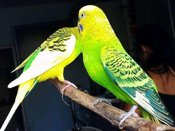 Волнистые попугаи, фото содержание птиц фотография