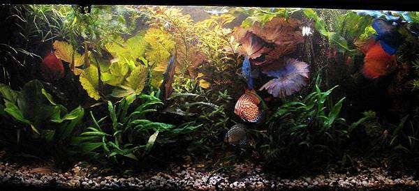 Пресноводный аквариум с дискусами, фото аквариумистика фотография