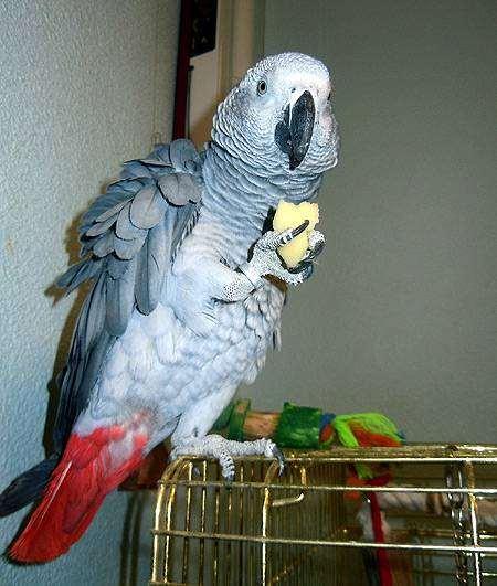 Серый попугай (жако), фото серые попугаи фотография