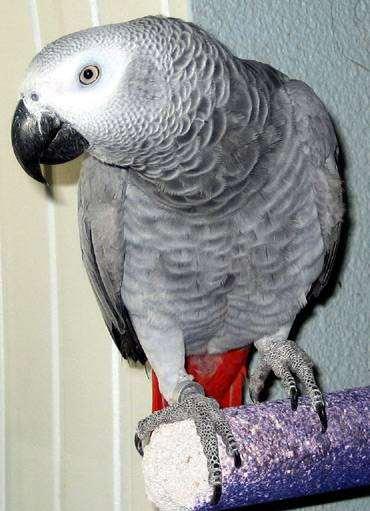 Серый попугай, или жако, фото содержание попугаев фотография