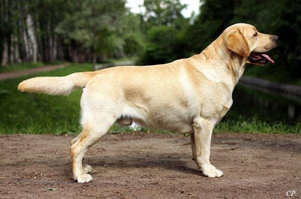 Лабрадор-ретривер, фото породы собак фотография собаки