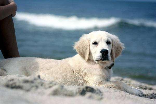 Щенок голден-ретривера, фото болезни собак фотография