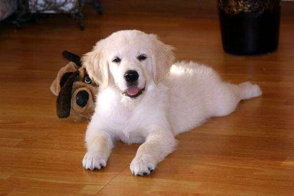 Щенок золотистого ретривера, фото собака в доме фотография