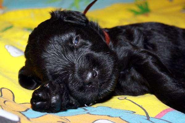 Щенок черного терьера, фото породы собак собаки фотография