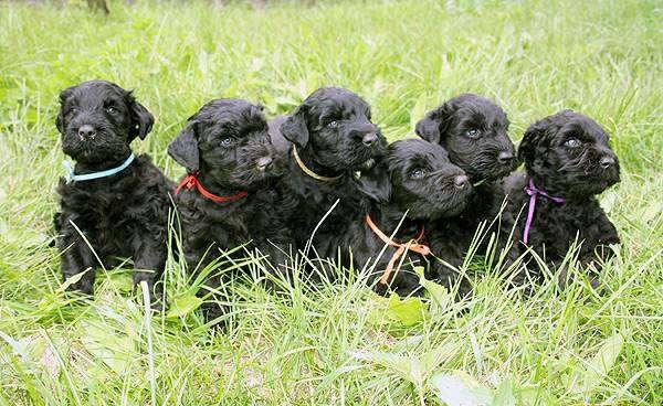 Щенки русского черного терьера, фото собаки породы собак фотография
