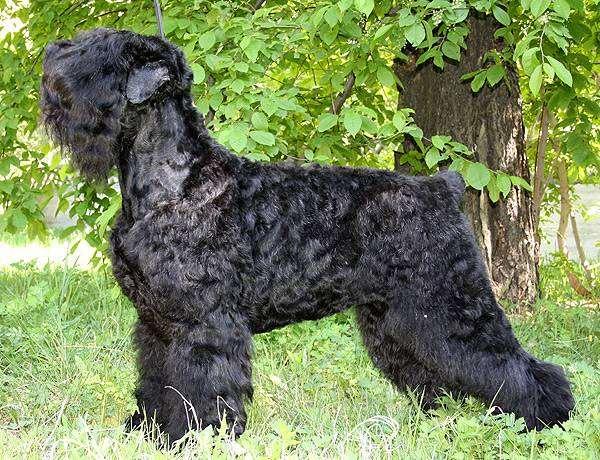 Черный терьер, фото породы собак картинка собаки