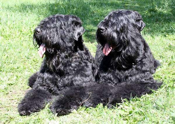 Черные терьеры, фотография породы собак фото картинка